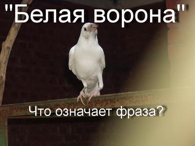 белая ворона что означает выражение